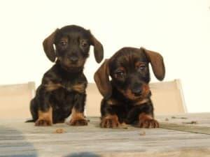 pups brechtje